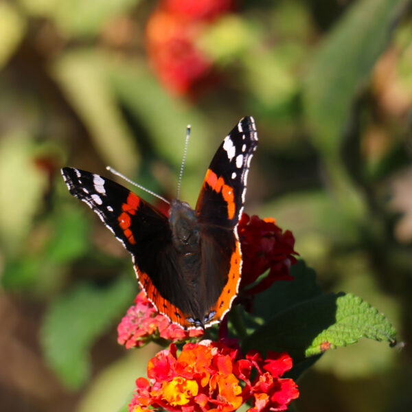 Butterfly red admiral with black wings and white s HRK5 A5 C 1